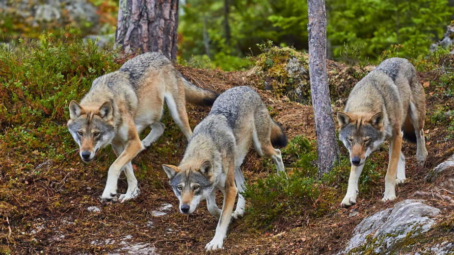 Będzie wniosek o odstrzał wilków