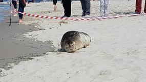 Foka wypoczywała na plaży w Międzyzdrojach. Już stała się gwiazdą