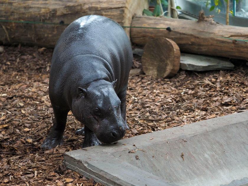 HipcIa Jamina nowa mieszkanka łódzkiego zoo