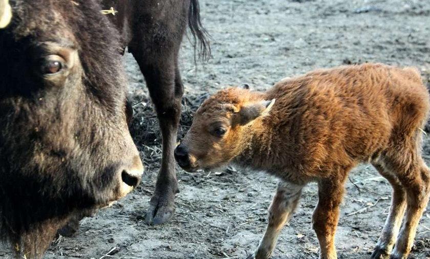 Mały bizonek czeka na imię! Masz pomysł?