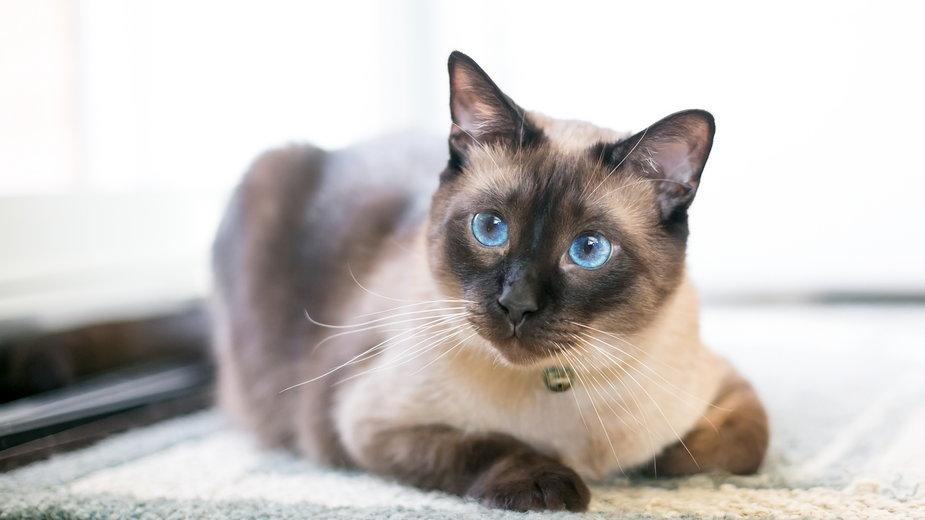 Koty syjamskie są bardzo energiczne - Mary Swift/stock.adobe.com