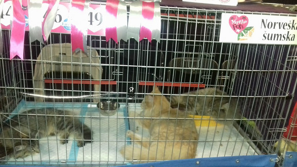 Mejn kun, norveška šumska i sibirska mačka imale su specijalan šou