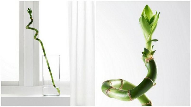 Dein Glucksbambus Von Ikea Ist Gar Kein Bambus Noizz