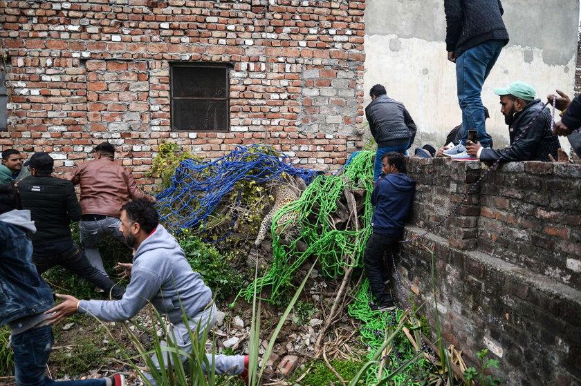 Indie: Lampart wdarł się do domu. Ścigali go 10 godzin