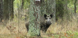 Wielkie dziki terroryzują mieszkańców osiedla