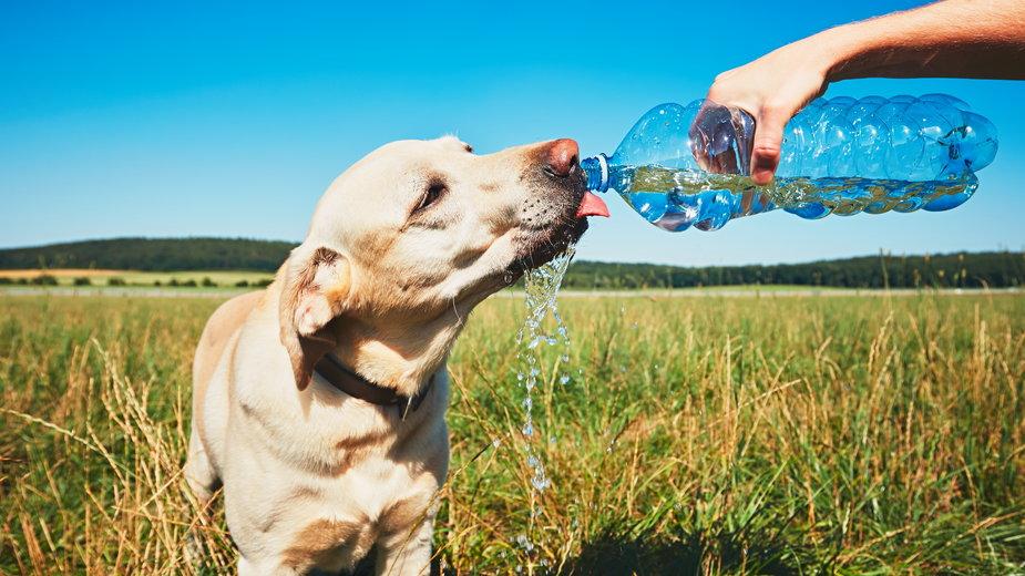 Podczas upału koniecznie trzeba zapewnić psu odpowiednią ilość świeżej wody - Chalabala/stock.adobe.com