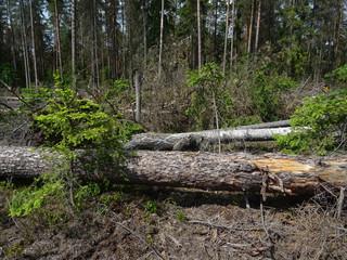 Fundacja Dzika Polska: Puszcza Białowieska zabliźnia rany po wyrębach, ale planowane wycinki zniszczą młode pokolenie drzew