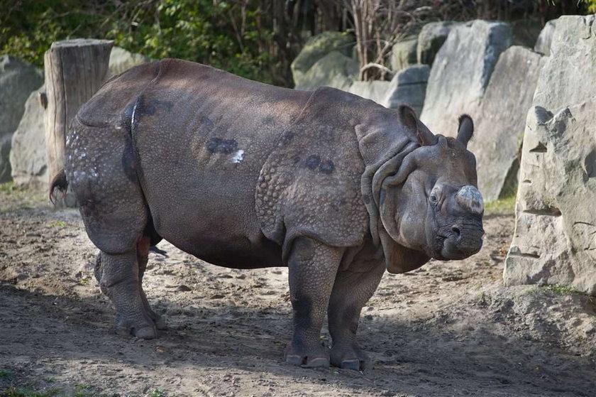 Nosorożec Kuba: Rety! Ale jestem brzydki!