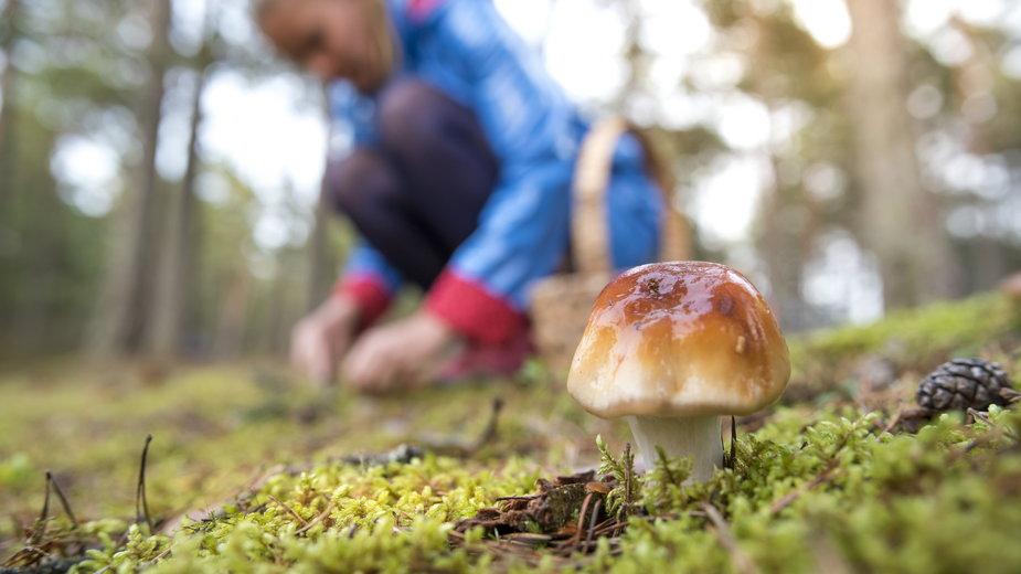 Zbiór grzybów za granicą. Jak wygląda? Zakazy, limity i zezwolenia