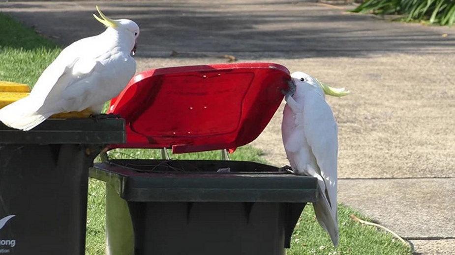 Kakadu uczą się od siebie nawzajem, jak otwierać kosze na śmieci
