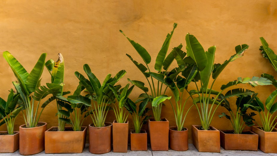 Drzewka bananowe mają bardzo oryginalny wygląd - photoopus/stock.adobe.com