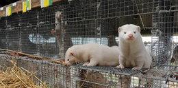 Nie tylko ekolodzy nie chcą ferm zwierząt futerkowych!