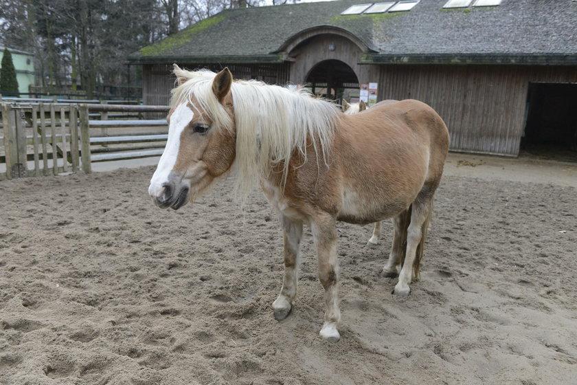Koniarze powinni nastawić ucha