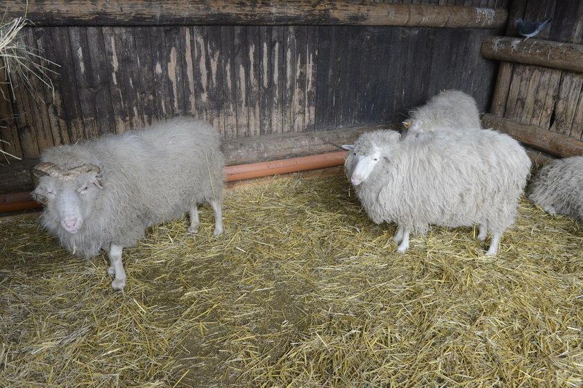 Owce rozgadałyby się niesamowicie