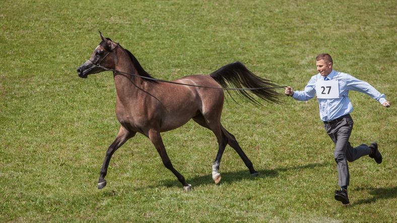Prezentacja i ocena koni z oferty Pride of Poland