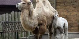 Mały wielbłąd pyta, kiedy urosną mu garby?