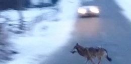 Wracał z pracy, spotkał wilki