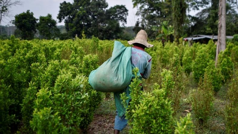 A Venezuelan migrant working as a leaf picker in a Colombian coca planatation