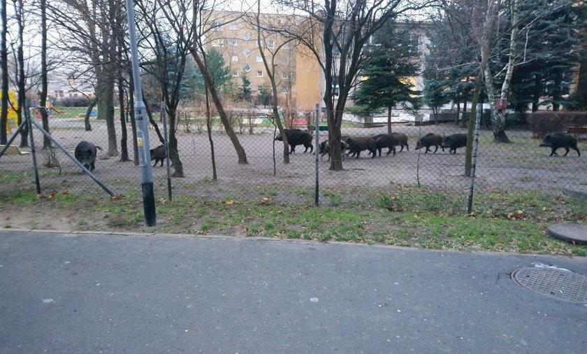 Dziki w ogródku poznańskiego przedszkola.