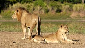 Kłusownik rozszarpany i zjedzony przez stado lwów