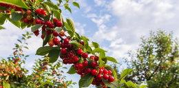 Owoce tańsze niż w zeszłym roku. Sadownicy liczą straty