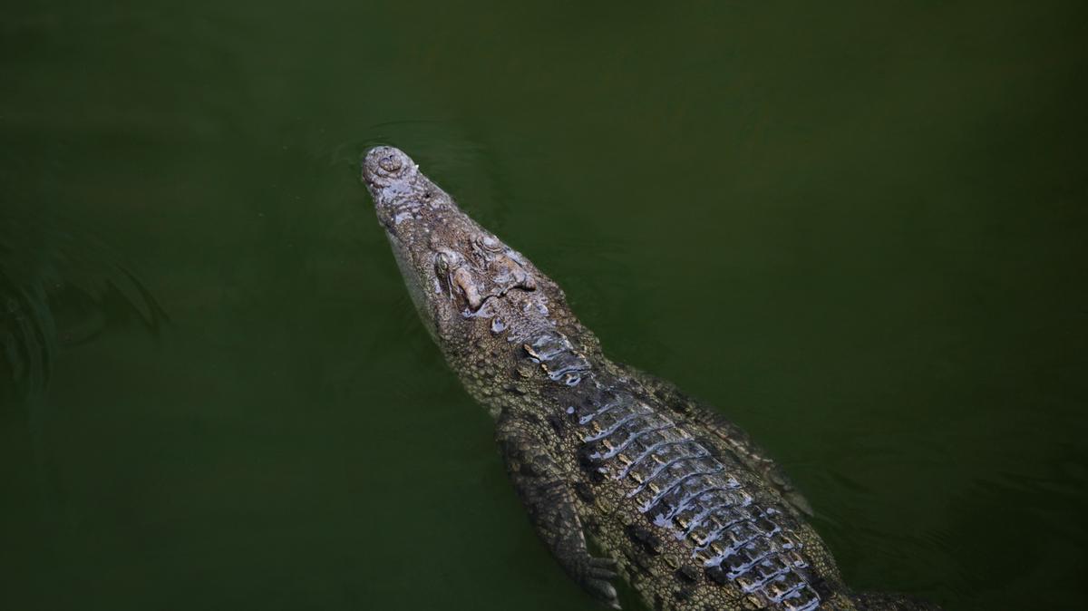Elpusztult a moszkvai állatkert aligátora, amelyik túlélte a II. világháborút is