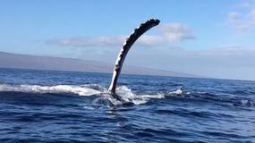 Wieloryb omal nie staranował łodzi. Pasażerowie byli przerażeni
