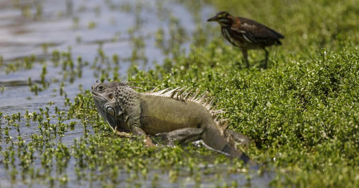 KeIn-Florida-regnet-s-gerade-Leguane-WTF-