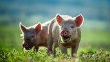 """Przerażające narodziny. Świnia z """"ludzką twarzą"""""""