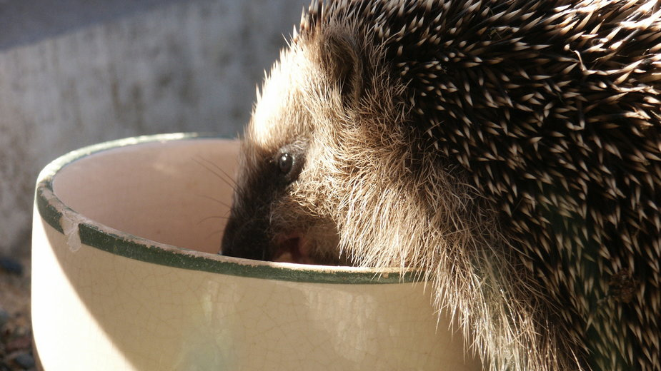 W ogrodzie warto postawić miskę z wodą dla jeża -  Ronny Satzke/freeimages.com