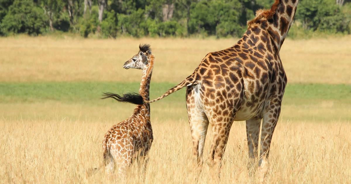Vergiftete Baby-Giraffen: Diese 7 Tiere tötet der Klimawandel