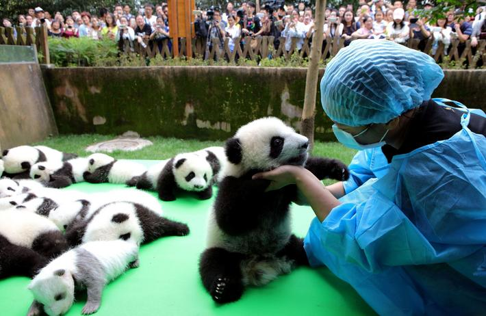 About 23 giant pandas born in 2016 are seen on a display at the Chengdu Research Base of Giant Panda