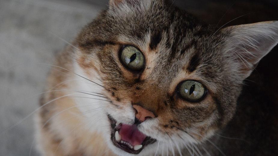 Dlaczego koty miauczą? - ClaraMD/pixabay.com