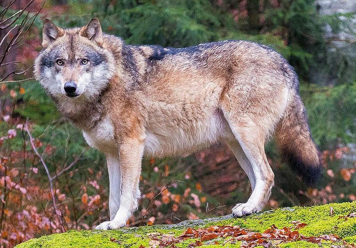 U Holandiji sve cesci napadi vukova na ovce