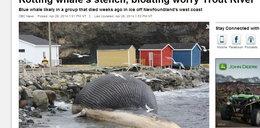 Zdechły wieloryb puchnie od gazów! Będzie katastrofa!