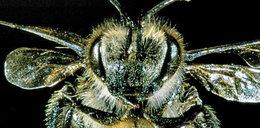 Uwaga! Atakują zmutowane pszczoły!