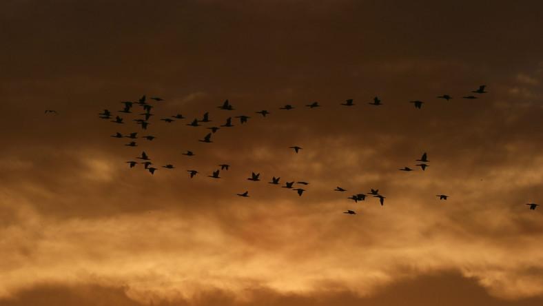 Klucz kormoranów przywitał zimę