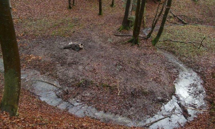 Dwa martwe żubry znaleziono w Bieszczadach