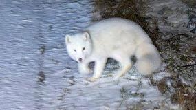 W Tatrach zamieszkał lis polarny
