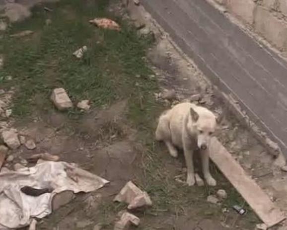 Beli vuk je bio veoma izgladneo