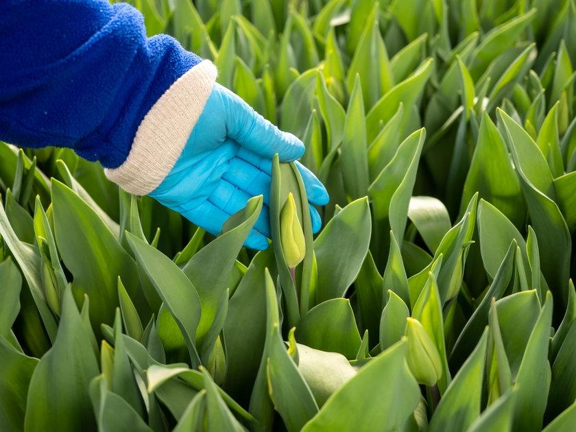 Nie chcę wyrzucać na śmietnik 100 tysięcy tulipanów
