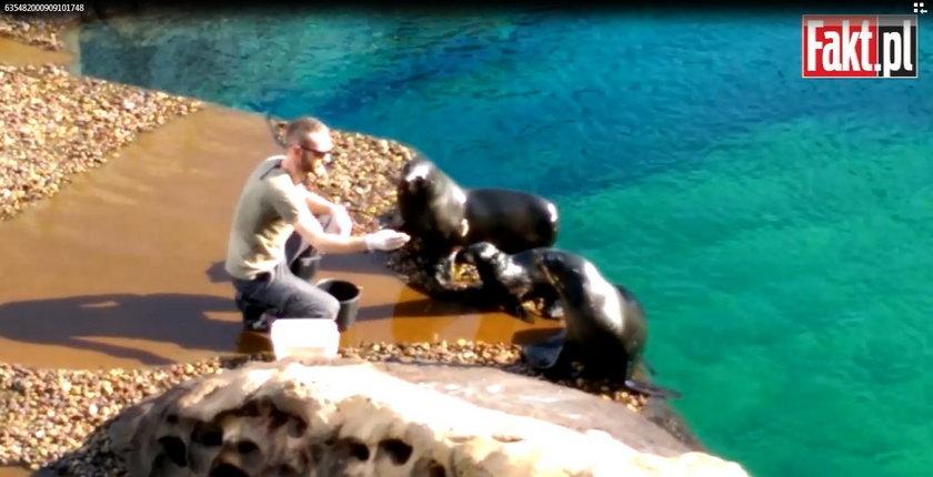 Karmienie kotików w Afrykarium we wrocławskim zoo