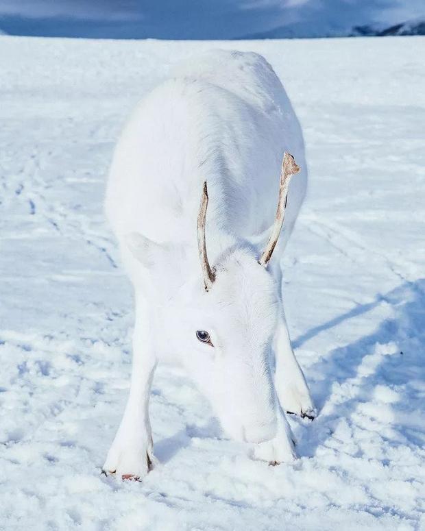 A kicsit félénkebb, fehér rénszarvas