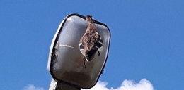 Kaczka utknęła w latarni. Zobacz zdjęcia!