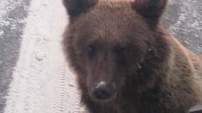 Dalsze losy niedźwiedzia z Czarnej Polany