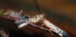 Inwazja owadów! Po 17 latach wyszły spod ziemi i...