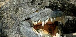 Żywy krokodyl na lotnisku w Chicago!