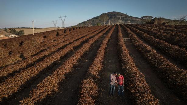 Zniszczone uprawy przez suszę w Brazylii