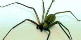 Groźny pająk atakuje! Po jego ugryzieniu ciało obumiera