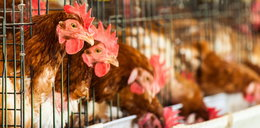 Wirus ptasiej grypy w Wielkopolsce. Do zabicia 65 tys. kur